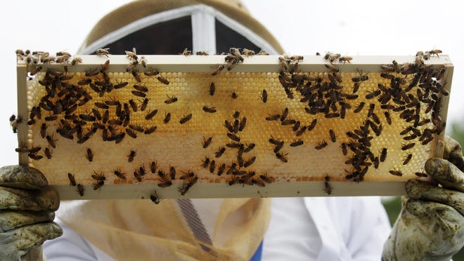 In this Aug. 7, 2019, photo, a beekeeper holds a frame of honeybees as she instructs veterans at the VA's beehives in Manchester, N.H. The annual survey of U.S. beekeepers found that honeybee colonies are doing better after a bad year. The survey found winter losses were lower than normal, the second smallest in 14 years of records.