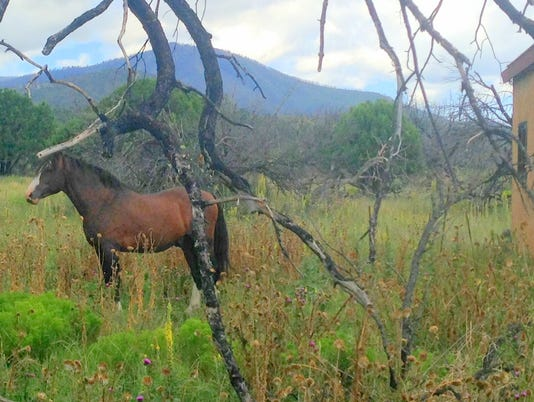 alto herd stallion