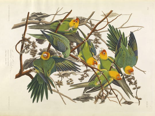 'Carolina Parrot' is a circa 1828 work by John James Audubon,. It is a hand-colored engraving, etching, aquatint on rag paper,