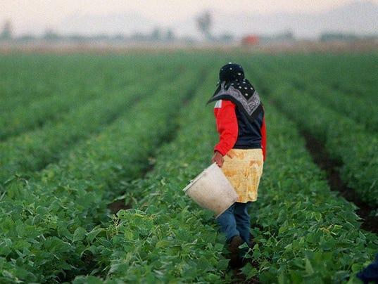 A farmers from Oaxaca works in a green beans field