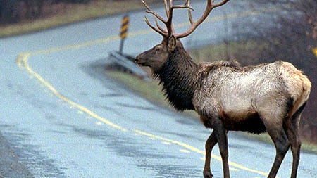 Pennsylvania's elk herd now faces a more serious threat from Chronic Wasting Disease.
