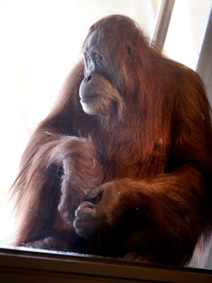 Indianapolis Zoo officials announced Nov. 11, 2015, that Sirih, one of its female orangutans, is pregnant and is expecting, if all goes well, to deliver this spring. Basan, another one of the zoo's orangutans, is the father.