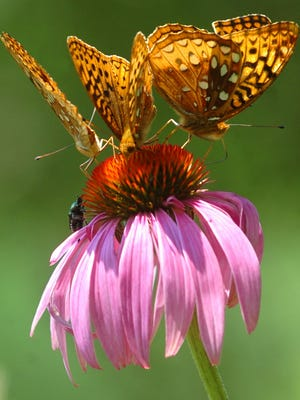 04/24/07: WEEKLY RECORD - FILE  A trio of regal fritillary butterflies rests atop a coneflower in the rear garden at Richard M. Nixon County Park. Approached slowly, most bugs and butterflies will ignore a photographer, so you might be able to get some shots of them in your own garden.    7/2/2006 DAILY RECORD / SUNDAY NEWS - JASON PLOTKIN  A trio of Regal Fritillary butterflies rests atop a cone flower in the rear garden at Richard M. Nixon County Park.      A trio of Fritillary butterflies rest atop a cone flower in the rear garden at Nixon Park. The park offered at Butterfly count opportunity for vistors on Saturday, July 1, 2006 from 9am until 2pm. YORK DAILY RECORD/SUNDAY NEWS-JASON PLOTKIN