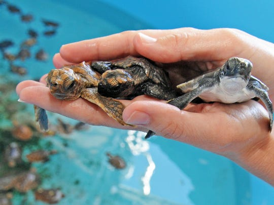 So far the Brevard Zoo has received 366 sea turtle