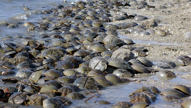 Milton's Horseshoe Crab & Shorebird Festival is timed to play off the spring arrival of horseshoe crabs heading to the shores by the thousands to spawn and lay eggs.