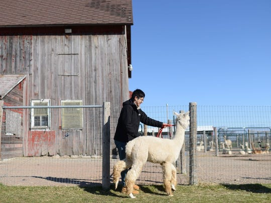 Alex Liang of Appleton walks with Amelia, a Huacaya breed of Alpaca, during an open house at Sabamba Alpaca Ranch and Bed & Breakfast in Lawrence on Saturday.
