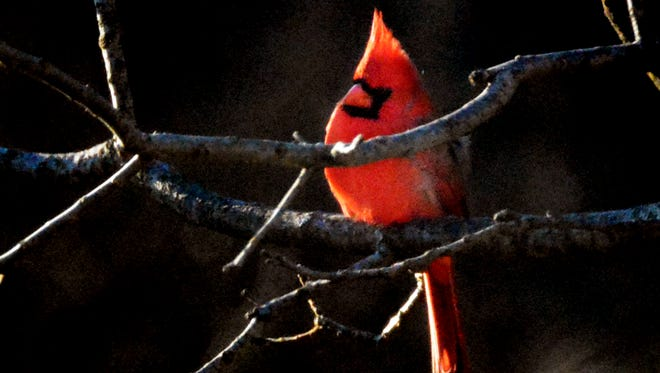 A male cardinal perches outside a viewing window during the Kids Christmas Bird Count at Nixon County Park Thursday, Dec. 28, 2017. Birding mentors from the York Audubon Society worked with children to help them participate in the annual bird count. Bill Kalina photo