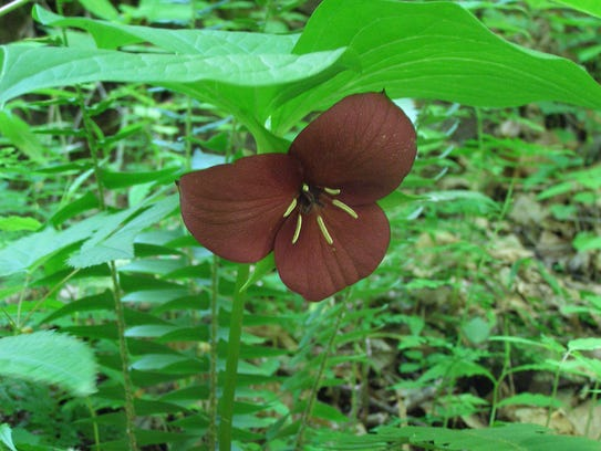 Vasey's trillium can be found along the edges of roads,