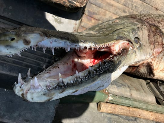 Alligator gar are known for the size of their teeth