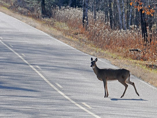 A doe in heat crosses a county highway in northern