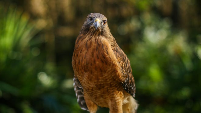 Rudy, a disabled red-shouldered hawk, is a member of St. Francis Wildlife's Wild Classroom outreach education program.