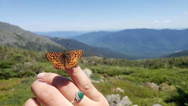 A White Mountain fritillary sits on researcher Samantha Derrenbacher's hand on Mount Jefferson right off the Gulfside Trail.