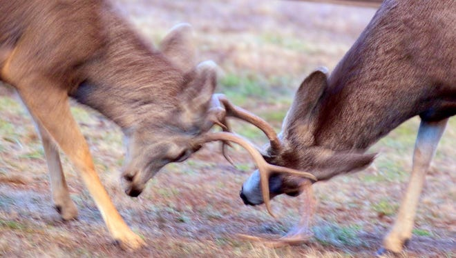 Always an exciting sight, two bucks test their strength in preparation for the rutting season to gather a harem of females.