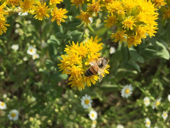 A bee forages on a goldenrod flower. Bees, wasps and