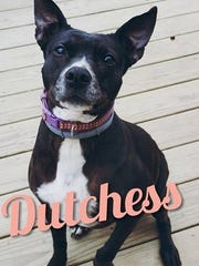 Dutchess is an adult, spayed-female pitbull terrier. She is house and crate trained and gets along great with children and most other dogs. Dutchess loves to cuddle on the couch and loves to sunbathe. She will make a wonderful companion. Find her through Companion Pet Rescue of Middle Tennessee, 615-260-8473, www.adoptapet.com/companion-pet-rescue-of-middle-tennessee/available-pets/.