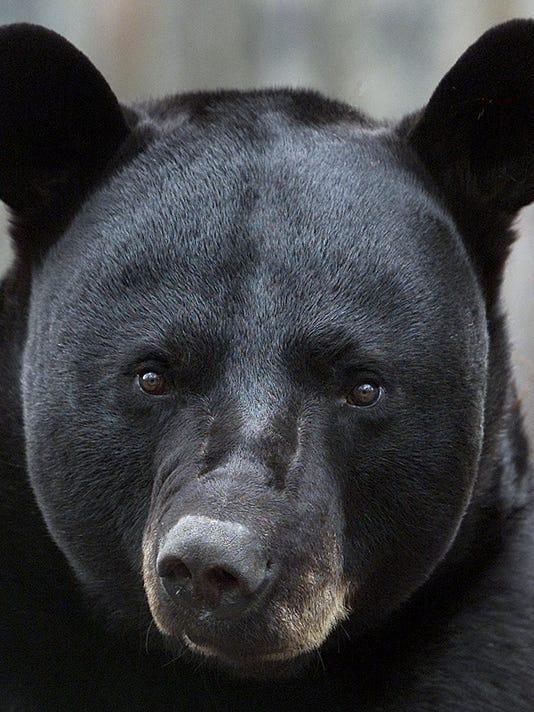 -TLHBrd_11-11-2013_Democrat_1_B002~~2013~11~10~IMG_Black_bear_1_1_765K7FLB_L.jpg