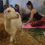 Yoga and goats team up for healthy fun