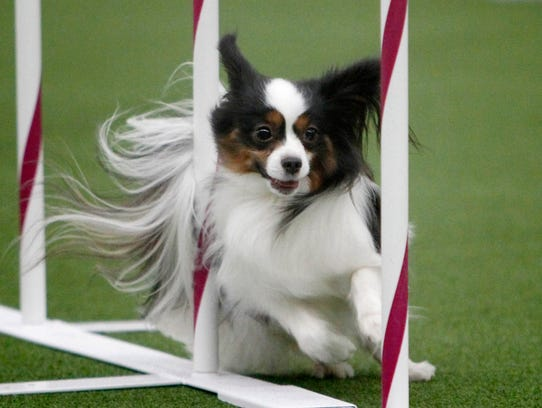 February 8, 2014; New York, NY, USA; Sparkle the dog runs obstacles during the Masters Agility Championship at Westminster at Pier 94. Mandatory Credit: Aristide Economopoulos/THE STAR LEDGER via USA TODAY Sports