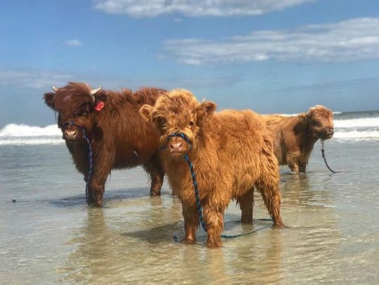 Three of the cows ventured to the beach in Florida