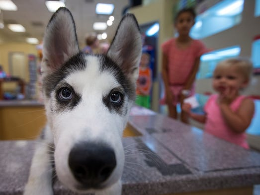 A 3-month-old male Siberian Husky at Paradise Valley