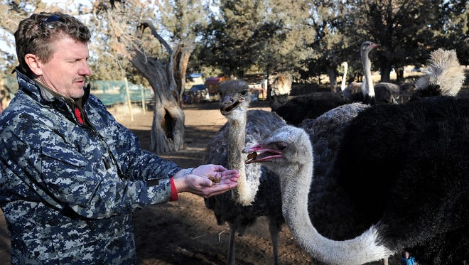 Michael Lehman feeds some of the ostriches he uses for breeding stock on his farm in Redmond, Ore., Thursday, Dec 21, 2017. Central Oregon Ostrich is one of only two farms in the Pacific Northwest that raises the animals for their meat.