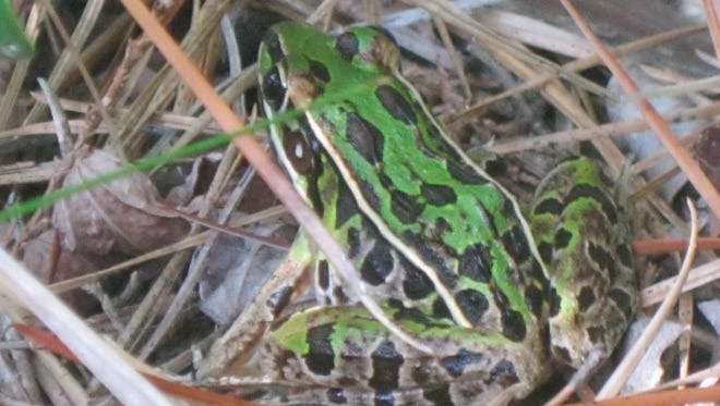 A southern leopard frog is spotted at Pakim Pond.