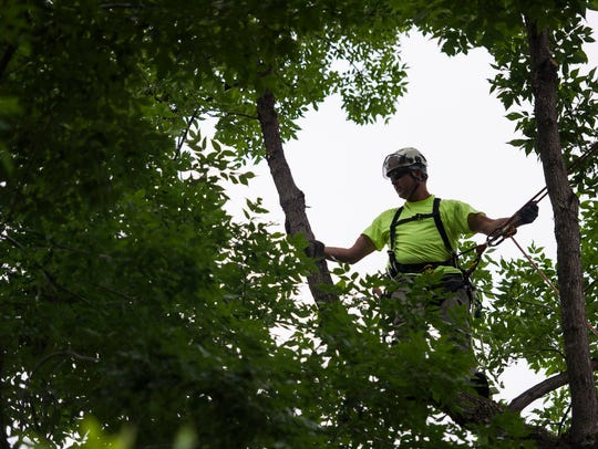 Fort Collins forestry technician Phil Lubke uses climbing