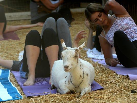 Goat yoga 3
