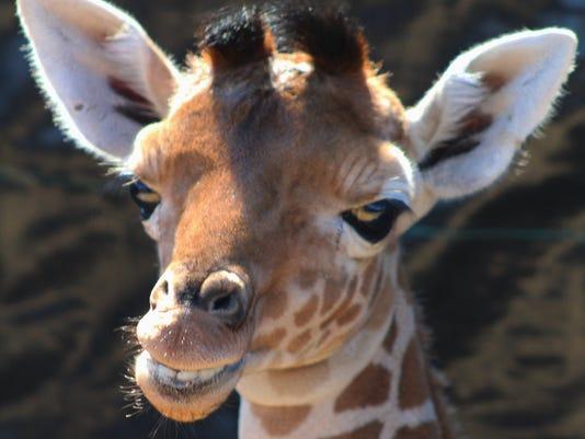 Elsa-the-giraffe.jpg