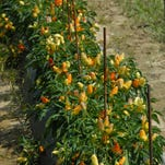 Cherry tomatoes continue to set fruit, although not as prolifically, during summer's heat.