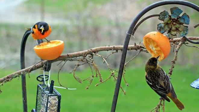 A male and female Baltimore Oriole enjoy oranges and suet in this photo by reader Janie Ferguson.