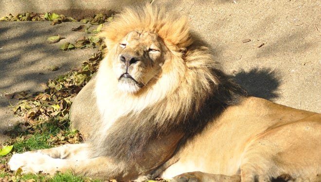 Louisville Zoo announced that its male lion Kenya died.