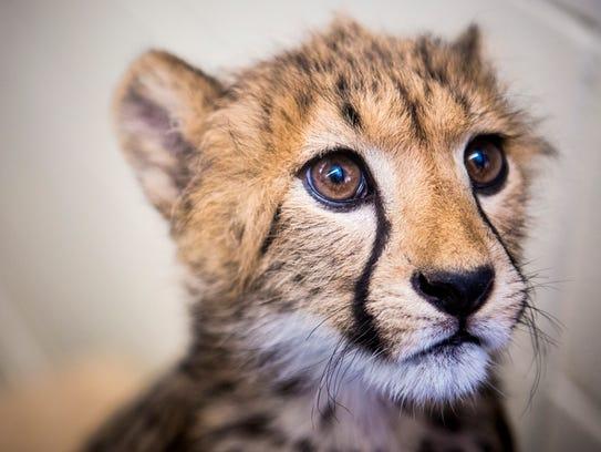 Donni, a 15-week-old cheetah cub, plays at the Cincinnati