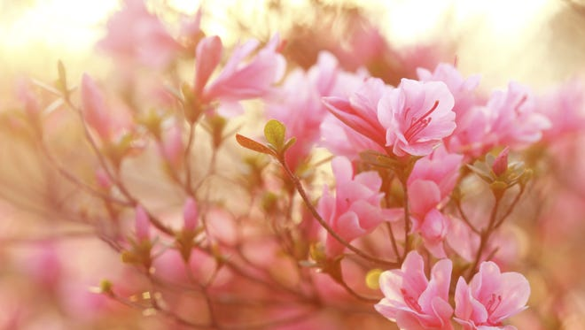 Do not prune your azaleas this late, or you will be cutting off the flower buds that would bloom next spring.
