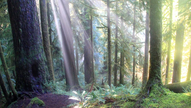 Sunlight breaks through the trees in the Valley of the Giants.