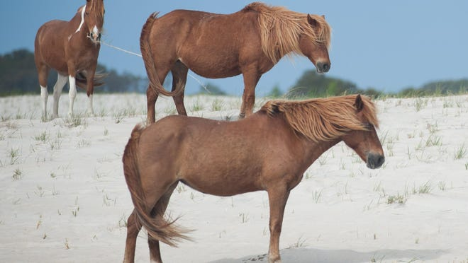 A few mares eat grass on a beach at Assateague Island.