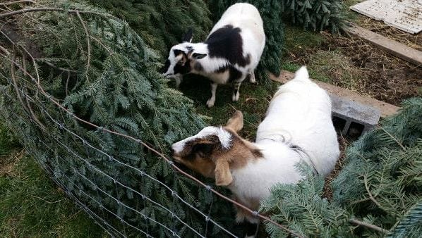 Some of Jason and Tina Richard's six goats snack on discarded Christmas trees.