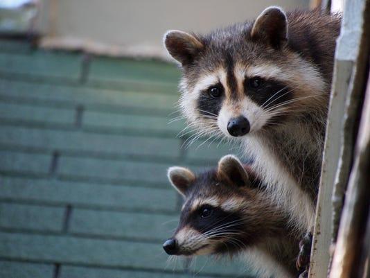 shutterstock_raccoons