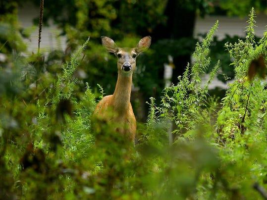 -MORBrd_10-18-2012_Daily_1_B003~~2012~10~17~IMG_deerFILE.jpg_1_1_5F2HE541~IM.jpg