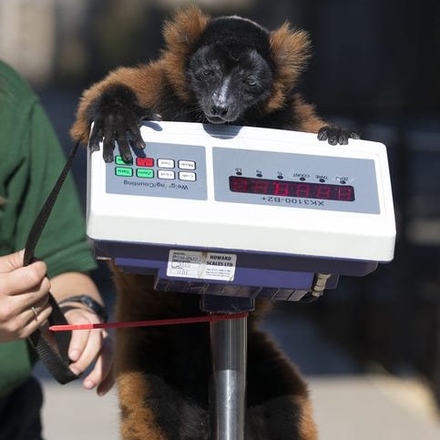 A red-ruffed Lemur named Cid is weighed on Aug. 21 at the London Zoo in England. The height and mass of 16,000 animals at the zoo are recorded and input into the Zoological Information Management System that collects data from 800 zoos and aquariums in 80 countries, allowing zoologists to compare information on thousands of