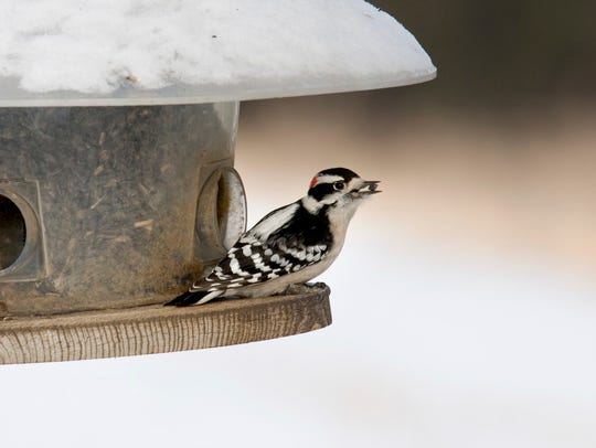 A Downy Woodpecker (Picoides pubescens, the smallest