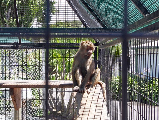 Roscoe in his enclosure at the Monterey Zoo, anxious
