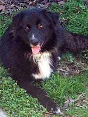 Chewy is a beautiful 3-year-old, neutered-male collie