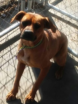 Carlos, a boxer mix, has had a rough life. He's a good boy that just needs a chance at love. We'd love to see him in a nice warm home before Christmas. Will he fit under your tree? He's waiting for you at Crittenden Co. Animal Shelter.