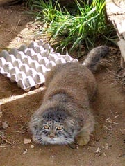 An eight pound Pallas's cat named Garab at Cat Haven.