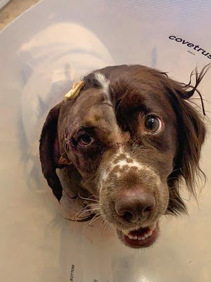 Jake, a 2-year-old Australian shepherd, is being treated for a gunshot to the face. He may lose his ear and vision.