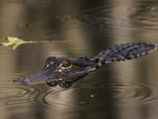 An alligator basks in the waters of the Bird Rookery