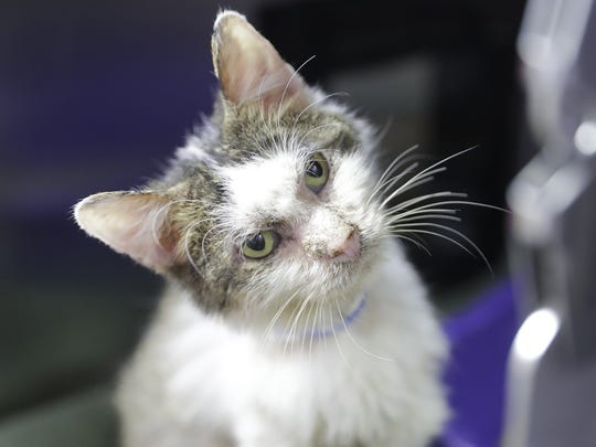 Torino is one of 44 cats rescued from a Town of Scott
