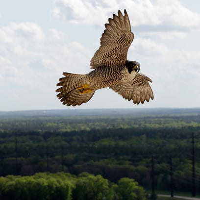 An adult Peregrine falcon swoops by its nest at the Weston Power Plant May 26, 2016.