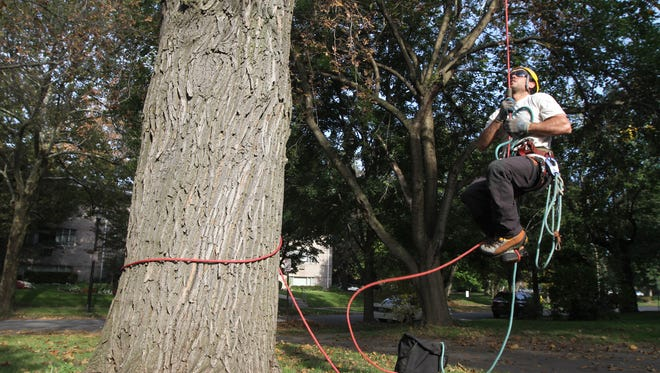 An arborist climbs a maple tree in Rochester to trim a limb.